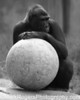 Gorilla - San Francisco Zoo