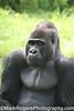 Oscar Jonesy<br /> Gorilla - San Francisco Zoo