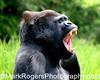 Oscar Jonesey - Silverback Gorilla<br /> San Francisco, Zoo