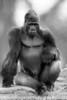 Yep, I'm in charge here<br /> Oscar Jonesy - Silverback Gorilla<br /> San Francisco Zoo