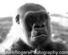 Western Lowland Gorilla<br /> Denver Zoo