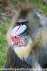 Not to be trifled with<br /> Mandrill - San Francisco Zoo