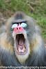 Needed: One brave dentist<br /> Mandrill - San Francisco Zoo