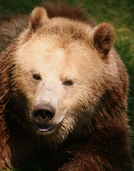 Grizzly Grin<br /> Grizzly Bear - San Francisco Zoo