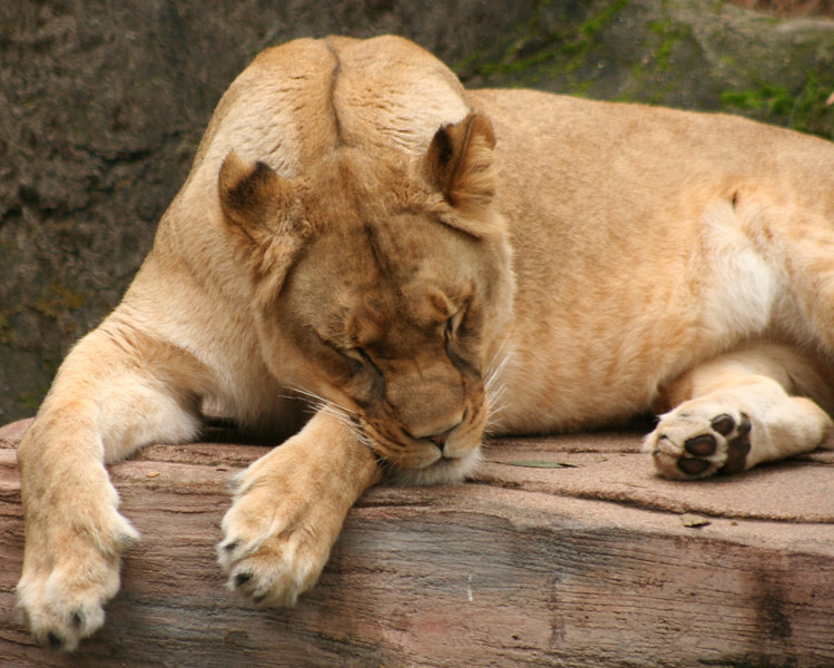 Sleeping Lioness<br /> San Francisco Zoo