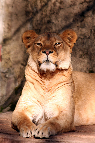 So, that's why they call it a pride <br /> Lioness - San Francisco Zoo