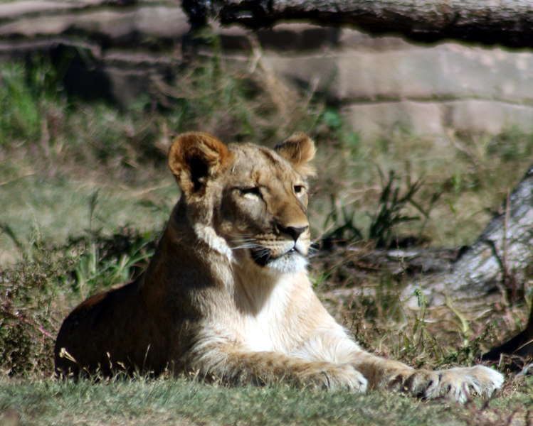 Lioness<br /> Denver Zoo