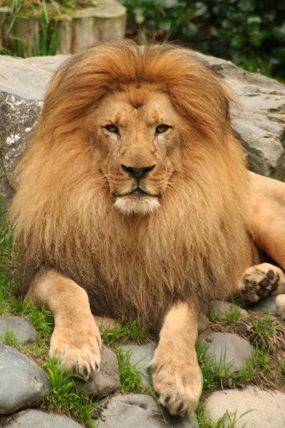 Lion<br /> San Francisco Zoo