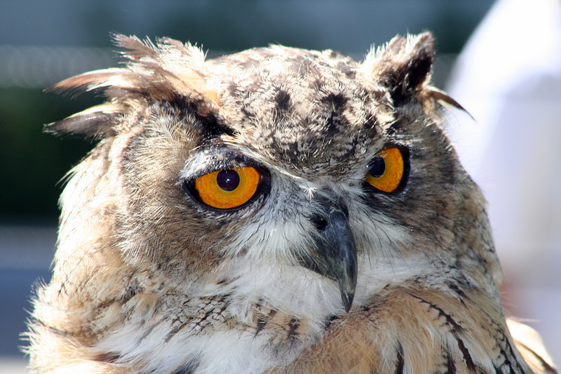 Athena<br /> Great Horned Owl<br /> San Francisco Zoo