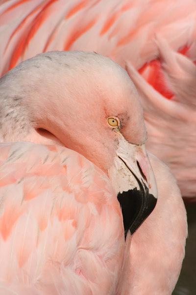 Flamingo<br /> San Francisco Zoo