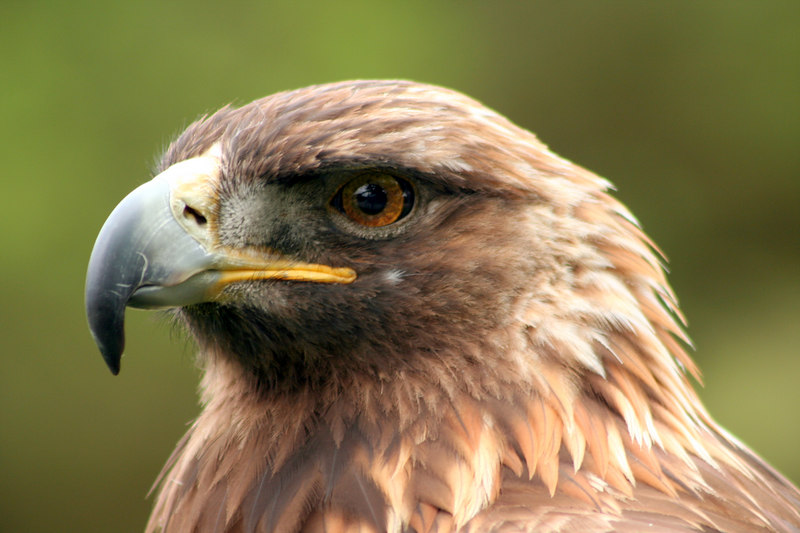 Sierra<br /> Golden Eagle<br /> San Francisco Zoo