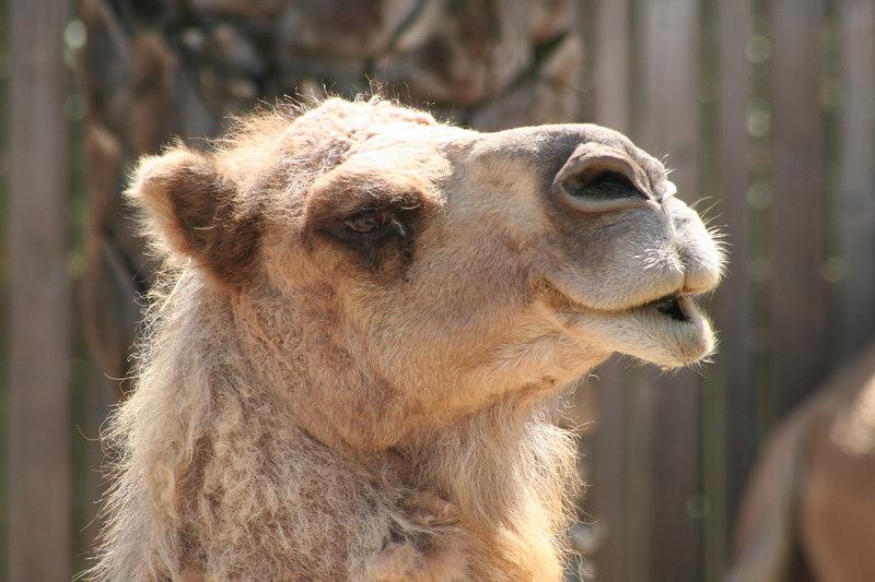 Dromedary (Arabian) Camel<br /> Oakland Zoo