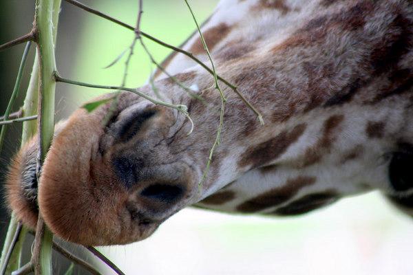 Giraffe Close Up<br /> San Francisco Zoo