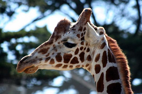 Giraffe<br /> San Francisco Zoo