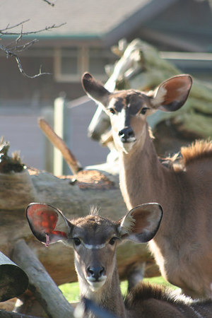 Greater Kudu Calf and Mother<br /> San Francisco Zoo