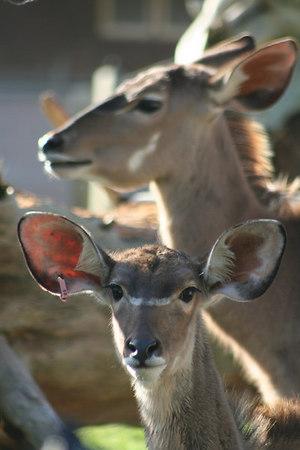 Greater Kudu Calf<br /> San Francisco Zoo