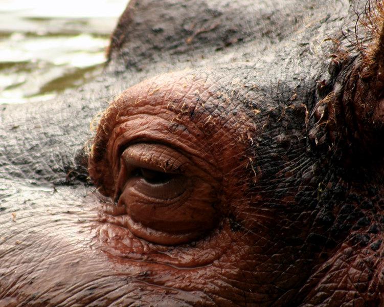 Hippo Close-up<br /> San Francisco Zoo