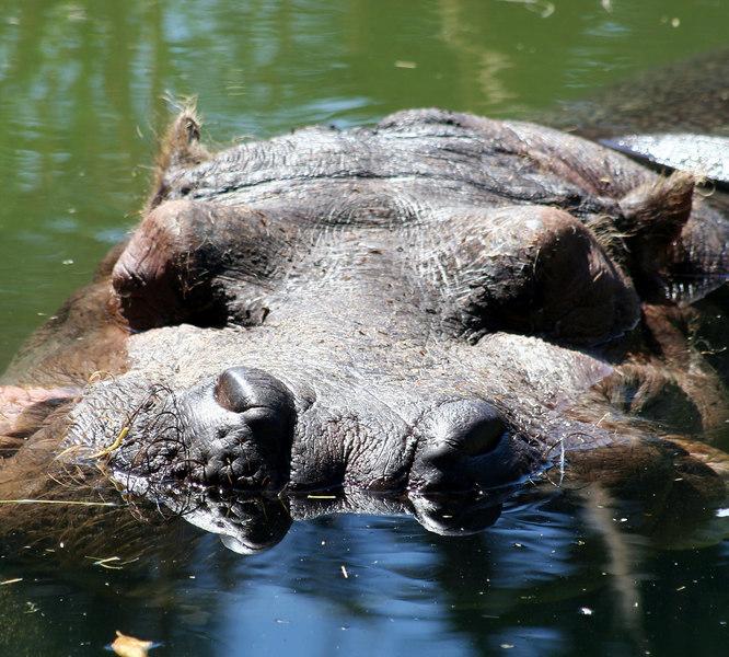 Hippopotamus<br /> San Francisco Zoo