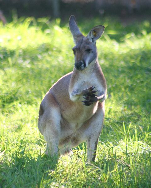 Kangaroo<br /> Denver Zoo
