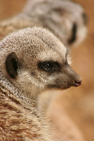 Meerkat Profile<br /> San Francisco Zoo