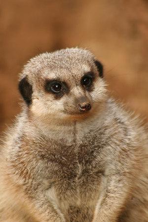 Meerkat<br /> San Francisco Zoo