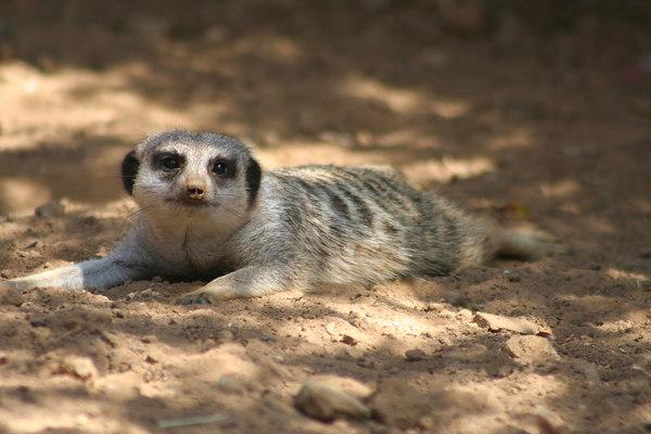 Off Duty<br /> Meerkat<br /> San Francisco Zoo