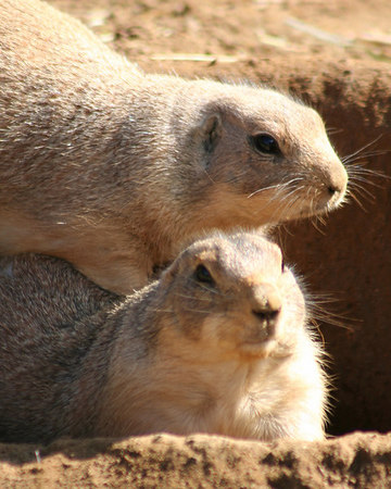 I've got your back<br /> Prairie Dogs - San Francisco Zoo