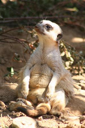 Meerkat with Beer Belly<br /> San Francisco Zoo