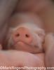 Newborn Piglet<br /> California State Fair - Sacramento