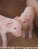 Newborn Piglets<br /> California State Fair - Sacramento
