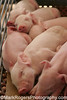 Cheek by jowl by cheek<br /> Sleeping Piglets <br /> California State Fair