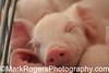 Sleeping Piglet <br /> California State Fair