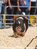 Pig Races <br /> Hambone Express<br /> County Fair - San Mateo California