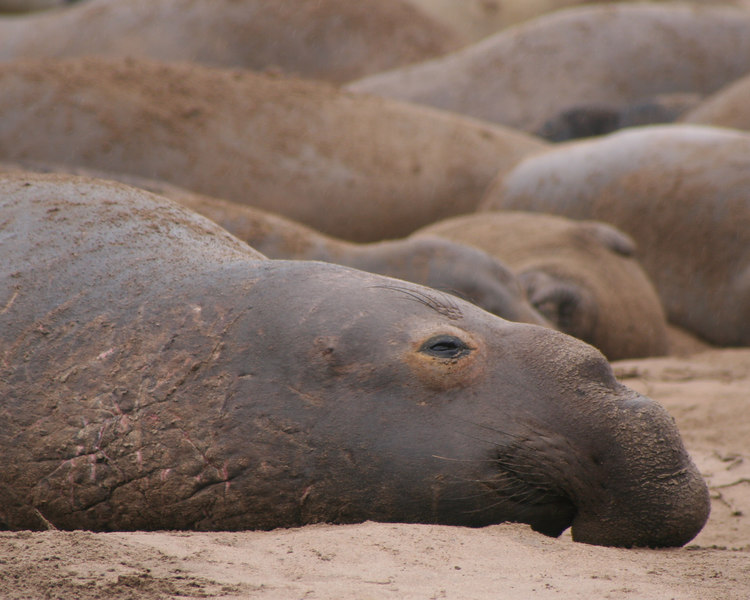 Male Elephant Seal<br /> Año Nuevo State Preserve on the San Mateo Coast, California