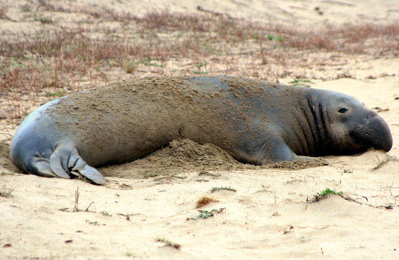 Elephant Seal<br /> Año Nuevo State Preserve on the San Mateo Coast, California