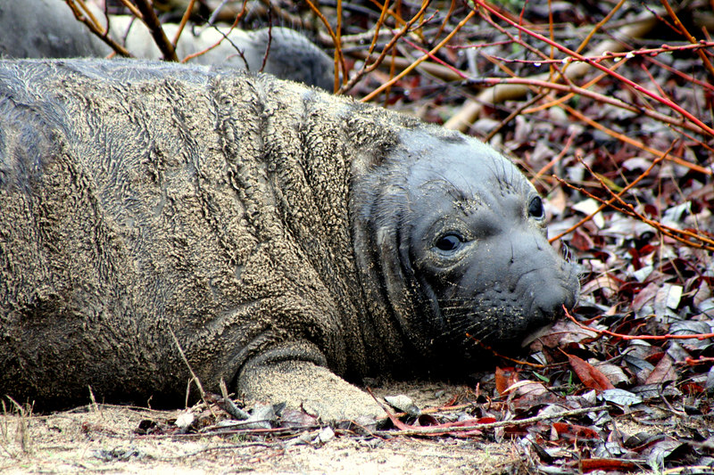 Baby Elephant Seal<br /> Año Nuevo State Preserve on the San Mateo Coast, California