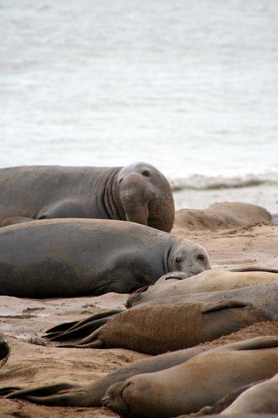 ELephant Seals<br /> Año Nuevo State Preserve on the San Mateo Coast, California