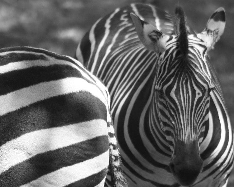 Zebras<br /> San Francisco Zoo