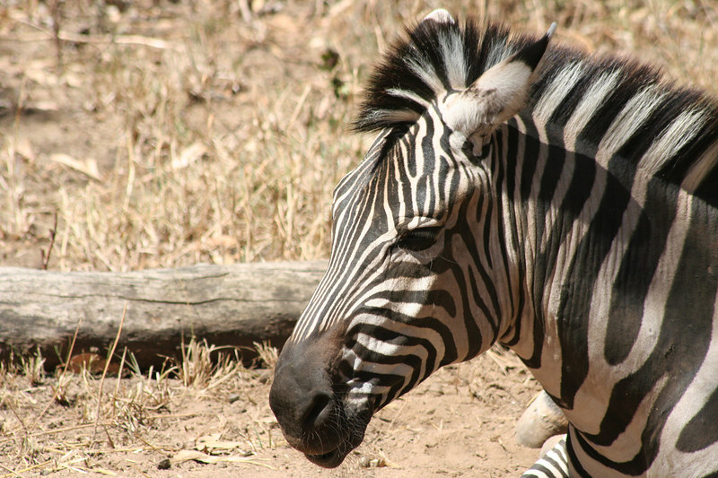 Zebra<br /> Oakland Zoo