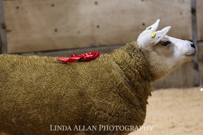 BAM Elite In Lamb Sale