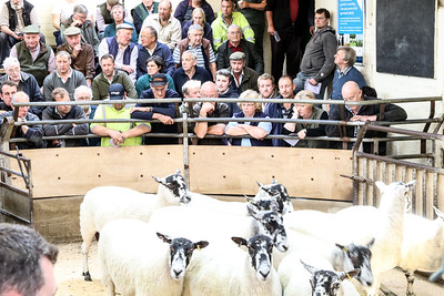BAM early breeding ewe sale 2017