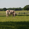 Texas Longhorn grazes in Madison County.