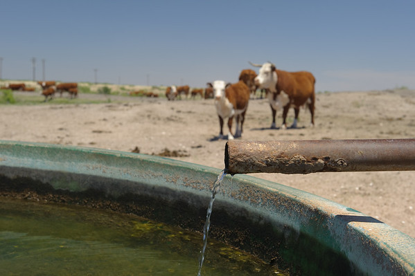 As the sun beats down, cattle find refreshment around this water facility.