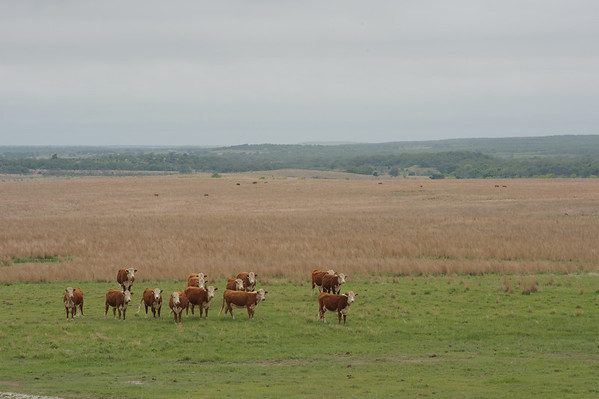 Hereford heifers in well managed rangeland in North Texas.
