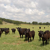 Cows and calves grazing in Mason County.