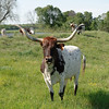 Longhorn cattle grazing.