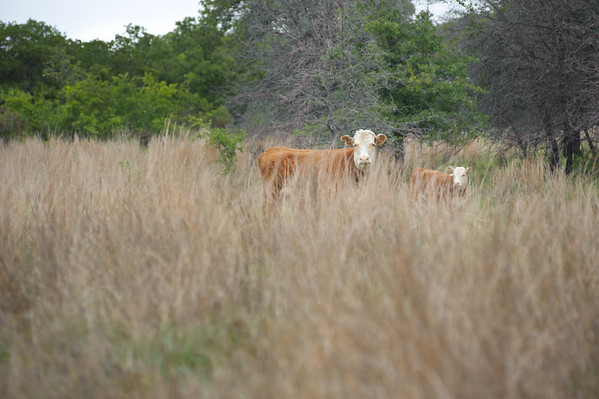 A calf and calf in the tall grass prairie in Montague County.
