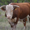 Hereford bull is tagged for identification at Stasney's Cook Ranch in Albany, Texas.