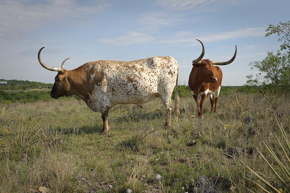 Texas Longhorn at Stasney's Cook Ranch in Albany, Texas.
