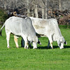 Brahman cattle graze in Brazos County, Texas. NRCS photo by Beverly Moseley.